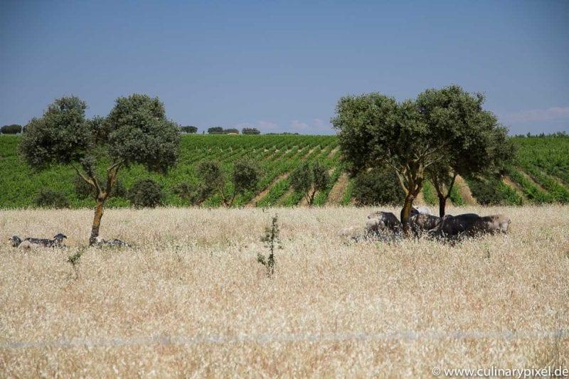 Schafe beim Weingut Esporão