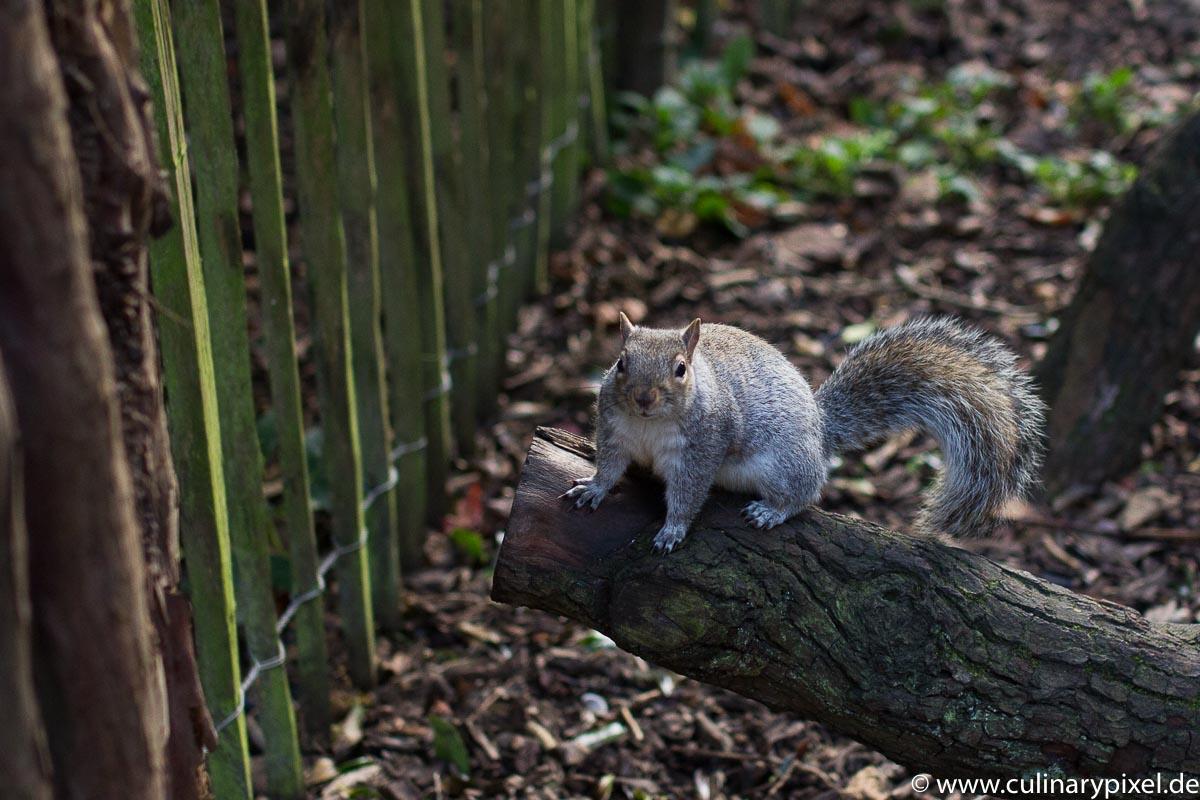 Museum Gardens York Eichhörnchen