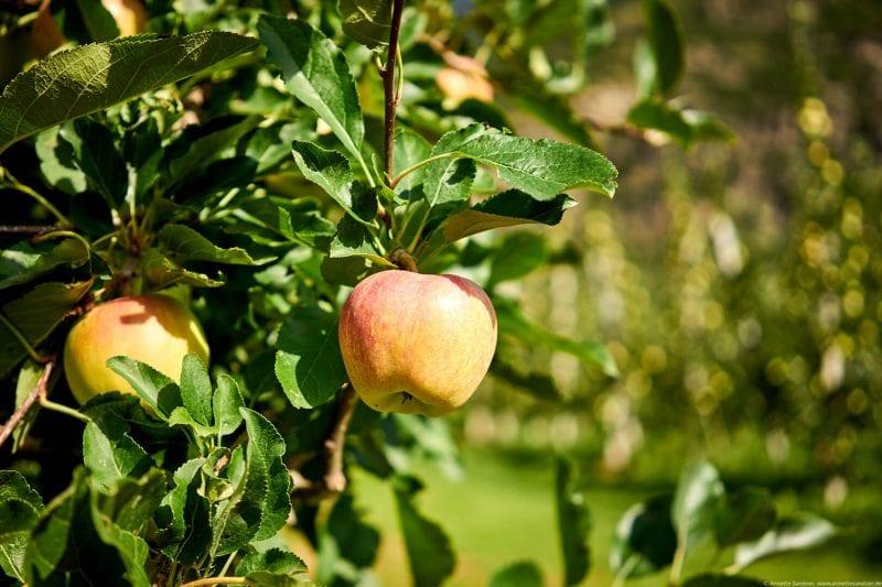Apfelwiesen im Vinschgau